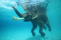 インド 海を泳ぐインド象