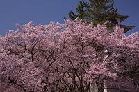 長野県 高遠城址公園のタカトオコヒガンザクラ