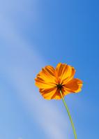 青空を背にした一輪の黄花秋桜