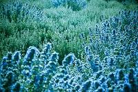 逆光に青く輝くランタナの花