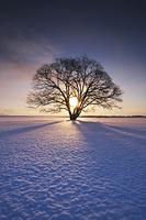 北海道 ハルニレの木と日の出