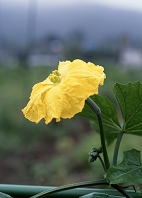 ヘチマ 雌花 8月 神奈川県 相模原市