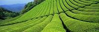 京都府・和束町 茶畑