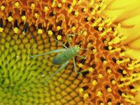 向日葵と虫