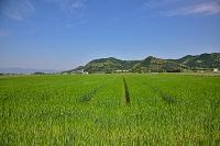 福岡県筑前町 大麦畑