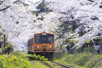 桜咲く津軽鉄道 芦野公園駅付近