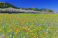 静岡県 お花畑と那賀川沿いの桜並木