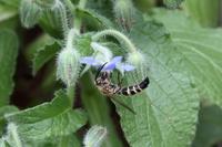 ハーブ ルリジサ 蜂の訪花