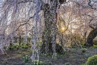 長野県 安養寺のしだれ桜