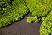 パラオ バベルダオブ島 マングローブ原生林
