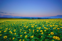 北海道 美瑛町 朝のヒマワリ畑