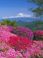 静岡県 ツツジ咲く葛城山より富士山
