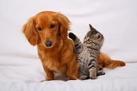 ミニチュアダックスと子猫
