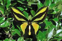 蝶 標本 ゴクラクトリバネチョウ ♂ インドネシア