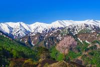 樽口峠よりオオヤマザクラと飯豊山