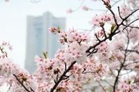 横浜大岡川の桜とランドマークタワー