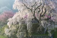 朝日を浴びる又兵衛桜
