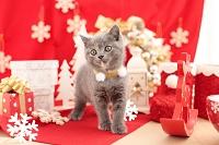 ブリティッシュショートヘア(ブルー&クリーム)の子猫