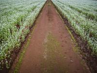 そば畑を分ける直線の道