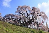 福島県 三春 滝桜