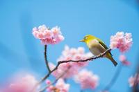 メジロと修善寺寒桜
