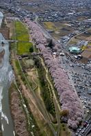 幸手権現堂桜堤(県営権現堂公園)の満開の桜と菜の花畑