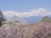 長野県 小川村 番所の桜山と後立山連峰