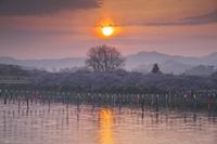 山形県 岩手県 北上展勝地の桜と北上川の日の出