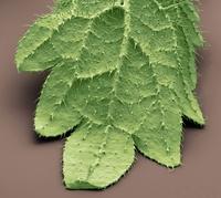 ネトルの葉(走査型電子顕微鏡)