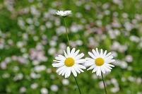 デージー群れる野の白い花