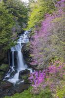 栃木県 トウゴクミツバツツジ咲く竜頭滝