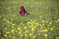 インド・ヴァイシャーリー 菜の花とサリーの女性