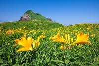 新潟県 佐渡島 大野亀のトビシマカンゾウの花
