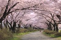岩手県 北上展勝地の桜のトンネル