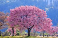 山形県 桜朝景 白川ダム湖岸公園