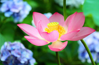 京都府 蓮と紫陽花