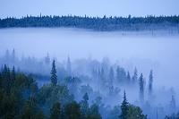 アメリカ デナリにて 霧に覆われた原生林