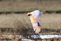 新潟県 トキ 朱鷺 飛翔