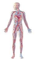人体CG 循環器系