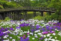 静岡県 虹の郷 花菖蒲と錦橋
