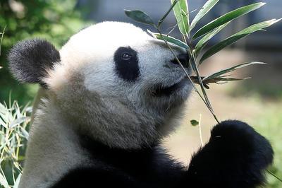 上野動物園のパンダ「シャンシャン」誕生(2017年)