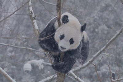 【話題】雪の中ではしゃぐパンダたち