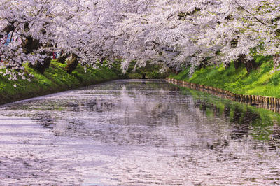弘前公園の桜(青森県)