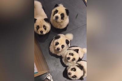 【話題】パンダ犬カフェ