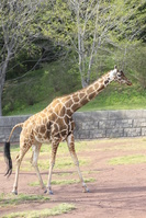 千葉県 千葉市動物公園のアミメキリン