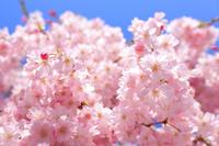 満開の枝垂桜と青空