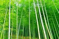 京都府 嵯峨野の緑の竹林