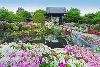 京都府 京都市 妙満寺 庭園 ツツジ