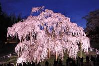 福島県 三春の滝桜のライトアップ