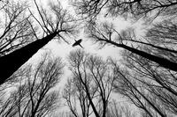 木々の上を飛ぶコウライキジ